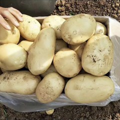 土豆(大)30kg/件