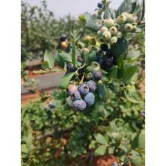 中果12-14mm,125g*4盒顺丰包邮蓝莓鲜果云南高原水果现摘现发