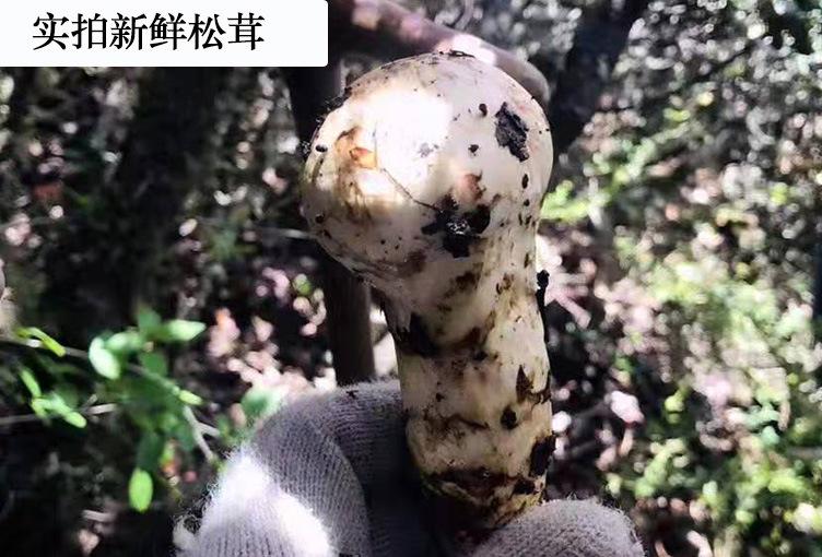 鲜松茸详情12